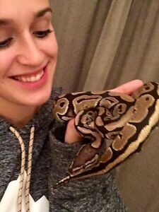 gentle female ball python
