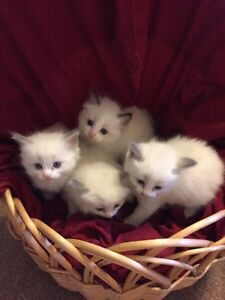 Registered Blue Bi Colour Ragdoll female
