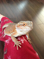 Two Female Bearded Dragons need new homes!