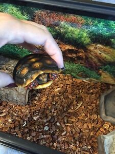 Red Footed Tortoise baby