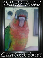 Yellow-Sided Green Cheek Conure Available For Adoption!