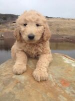 Hazy Hajers Kennels - F1 Goldendoodle Puppies