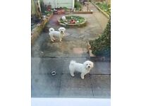 Beautiful Bichon Frise Puppies looking for a loving home.