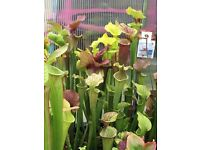 Carnivorous, insect eating plants for sale