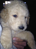 Goldendoodle puppies for sale!