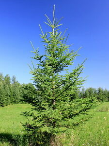 White Spruce Trees For sale