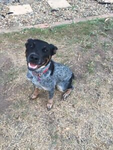 Cattle Dog female Ferny Grove Brisbane North West Preview