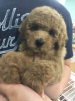 **** TOY POODLE PUPPIES BOYS AND GIRLS AVAILABLE ****