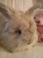 English Angora Rabbits - Purebred