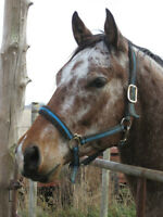 9 YEAR OLD APPALOOSA GELDING