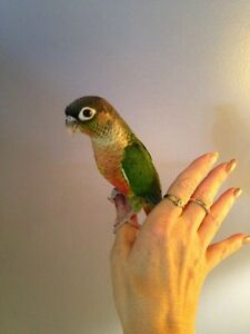 ❤★ Hand Tamed Baby CONURES With CAGE★❤