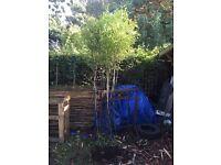 Bamboo (Nigra)
