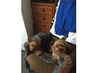 8week old Yorkshire terriers puppies