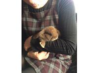 5 baby lop rabbits