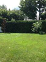 Tonte de pelouse, taillage de haie de cèdre et d'arbustes