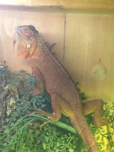 red iguana need gone today