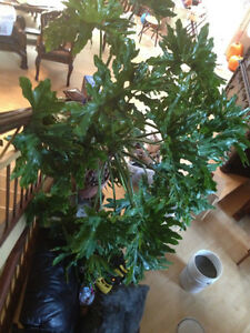 Grand philodendron