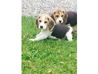 beagle cuties