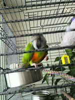 Senegal Parrot With Cage