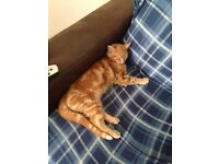Ginger cat free to good loving home