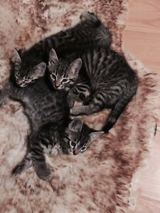 Silver bengal kittens for sale !