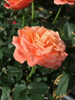 Rose bushes - directly from greenhouse