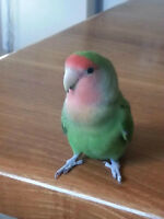 Female Peach Faced Love Bird with Deluxe Cage and Accessories