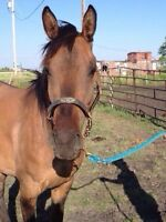 GORGEOUS THREE YEAR OLD REGISTERED BUCKSKIN DUN FILLY