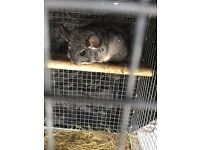 Chinchilla (male) with cage and accessories.