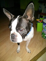 Boston Terrier (Longueuil)