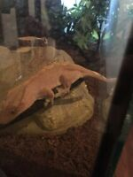Fancy flame crested gecko