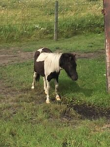 Miniature horses for sale Strathcona County Edmonton Area image 2