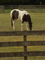 4 yo double registered paint/pinto for sale in Aldergrove, BC