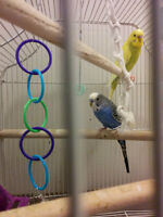 Perfect active parakeets for sale....