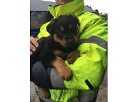 ALL SOLD.......German shepherd cross