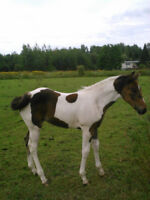 Reg. Bay Filly For Sale