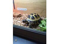 Female Horsefield tortoise £150