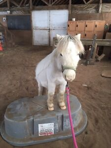 Miniature horse for lease