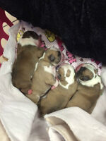 English Bulldog QUALITY puppies!!