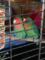 Pair of Lovebird with cage for sale