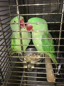 2x alexandrine parrot for sale
