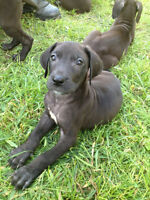 PURE GREAT DANE PUPPIES, TAKE YOURS HOME NOW! 5 Left!