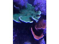 Marine green & red montipora plate