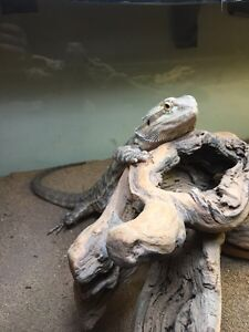 2 Adult Bearded Dragons Male and Female