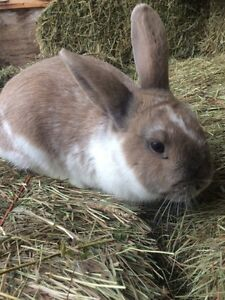 Holland Lop cross Dutch