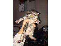 Lill Bengal type kitten