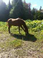 Mare and gelding