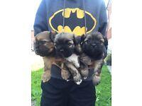 Chihuahua X Lhasa Apso pups