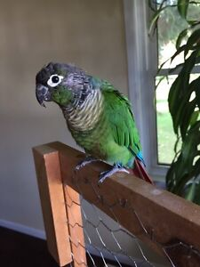 Male green cheek conure reduced needs home
