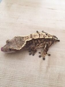 Adult Female Extreme Harlequin Pinstripe Crested Gecko London Ontario image 3